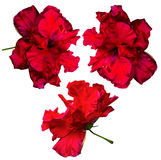 hibiscus Karkade Abstrakte vektorabbildung Hibiscusblume an lokalisiert Lizenzfreie Stockbilder