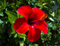 Hibiscus. Karkade. Hibiscus flower. Red hibiscus flower on a gre Royalty Free Stock Images