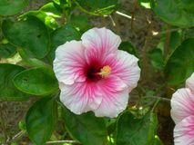 The hibiscus pink flower stock image