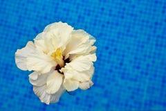 Hibiscus in koel water Stock Afbeelding