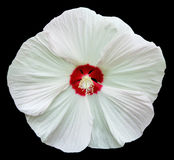Hibiscus 'Kopper King' isolated Royalty Free Stock Image