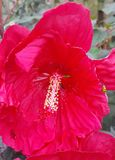 Hibiscus-Kreuzung lizenzfreies stockbild