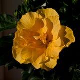 Hibiscus Laluna stock afbeeldingen