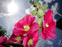 Hibiscus in Last Bloom Royalty Free Stock Photos