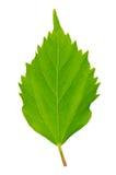 Hibiscus leaf Stock Photos