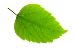Hibiscus Leaf Royalty Free Stock Image