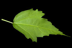 Hibiscus leaf on black Stock Photos