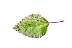 Hibiscus leaf Stock Image
