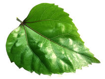 Hibiscus leaf Stock Images