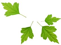 Hibiscus leaves. The hibiscus leaf isolated white Stock Photo