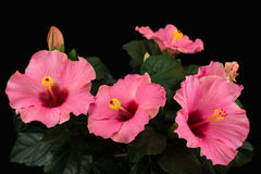 Hibiscus longlife Stock Photography