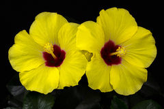 Hibiscus longlife Royalty Free Stock Photo