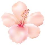 Hibiscus macio Fotografia de Stock Royalty Free