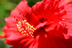 Hibiscus macro Royalty Free Stock Photos
