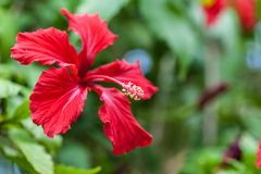 Hibiscus Royalty Free Stock Photos
