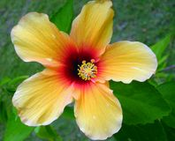 Hibiscus at maldives 1. Yellow little simple hibiscus at maldives shore Royalty Free Stock Photography
