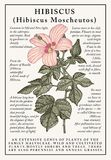 Hibiscus, mallow. Beautiful nature blooming realistic  garden flowers. Vintage card. Frame label. Drawing engraving Vector Royalty Free Stock Photography