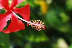 Hibiscus mallow flower up view stock photography