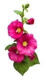 Hibiscus Stock Images