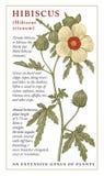 Hibiscus, Malve Blühende realistische lokalisierte Gartenblumen der schönen Natur Universalschablone für Grußkarte, Webseite, Hin Stockfoto