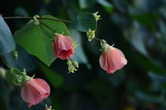 Hibiscus matabilis flowers. That are about to break in the morning Royalty Free Stock Images