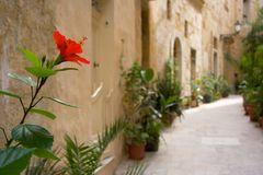 Hibiscus In Mediterranean Street, Malta. Some small streets in Vittoriosa, Malta are decorated with lots of plants and flowers. Focus on foreground Royalty Free Stock Photography