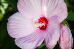 Hibiscus Moscheutos, beautiful flowers Stock Image