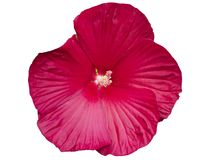 Hibiscus moscheutos flower Stock Photo