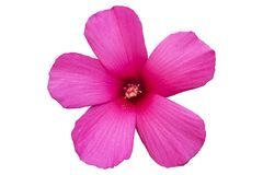 Hibiscus moscheutos red-pink rose mallow flower isolated on whit Stock Photo