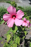 Hibiscus moscheutos swamp rose mallow big pink flower on a sunny day.  royalty free stock images