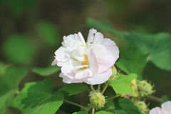 Hibiscus mutabilis or Confederate rose. Confederate rose or Dixie rosemallow or the cotton rosemallow flower Stock Photography