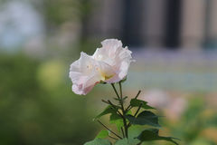 Hibiscus mutabilis or Confederate rose. Confederate rose or Dixie rosemallow or the cotton rosemallow flower Stock Image