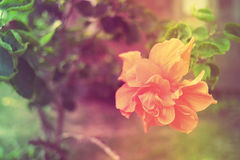 Hibiscus mutabilis dolce e morbido del fiore nel colore d'annata Immagini Stock