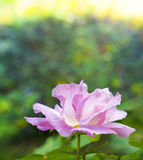 The Hibiscus mutabilis flower at the garden. Beautiful Hibiscus mutabilis flower at the garden Royalty Free Stock Image
