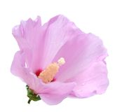 Hibiscus. Mutabilis hibiscus isolated on white background Royalty Free Stock Photography