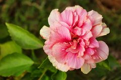 Hibiscus mutabilis, known as the Confederate rose noted for showy large flowers.  stock images