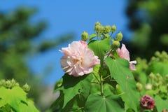 Hibiscus mutabilis Stock Photos