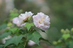 Hibiscus-mutabilis oder Verbündeter stiegen lizenzfreie stockfotografie