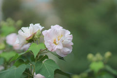 Hibiscus-mutabilis oder Verbündeter stiegen stockbild