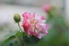 Hibiscus-mutabilis oder Verbündeter stiegen lizenzfreies stockbild