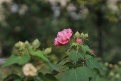 Hibiscus-mutabilis oder Verbündeter stiegen lizenzfreies stockfoto