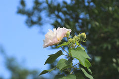 Hibiscus-mutabilis oder Verbündeter stiegen stockfoto