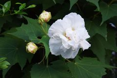 Hibiscus mutabilis/Three times color change flower  . Three times color change flower n `Cotton rosemallow`  The color changes in white in the morning, pink Stock Photos