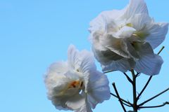 Hibiscus mutabilis/Three times color change flower  . Three times color change flower n `Cotton rosemallow`  The color changes in white in the morning, pink Royalty Free Stock Photos