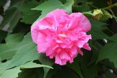 Free Hibiscus Mutabilis/Three Times Color Change Flower  Stock Photo - 99788080