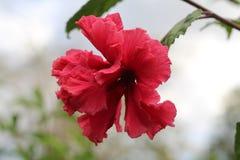 Hibiscus na flor imagens de stock