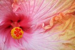 Hibiscus-Nahaufnahme Lizenzfreies Stockbild