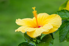 Hibiscus, the national flower Royalty Free Stock Image