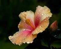 Hibiscus Nieuwe Apollo stock foto's