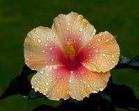 Hibiscus Nieuwe Apollo Royalty-vrije Stock Foto's